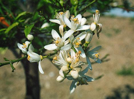 la fleur d anis